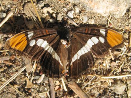 Adelpha bredowii