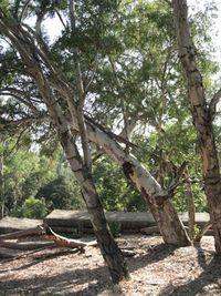Bee Tree Eucalyptus