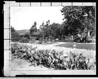 Cactus Hedge 1905
