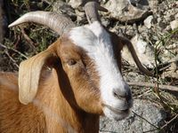 Boer-mix goat