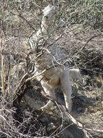 Goat climbing bush