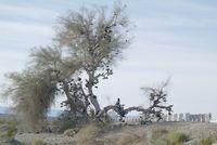 Amboy Shoe Tree