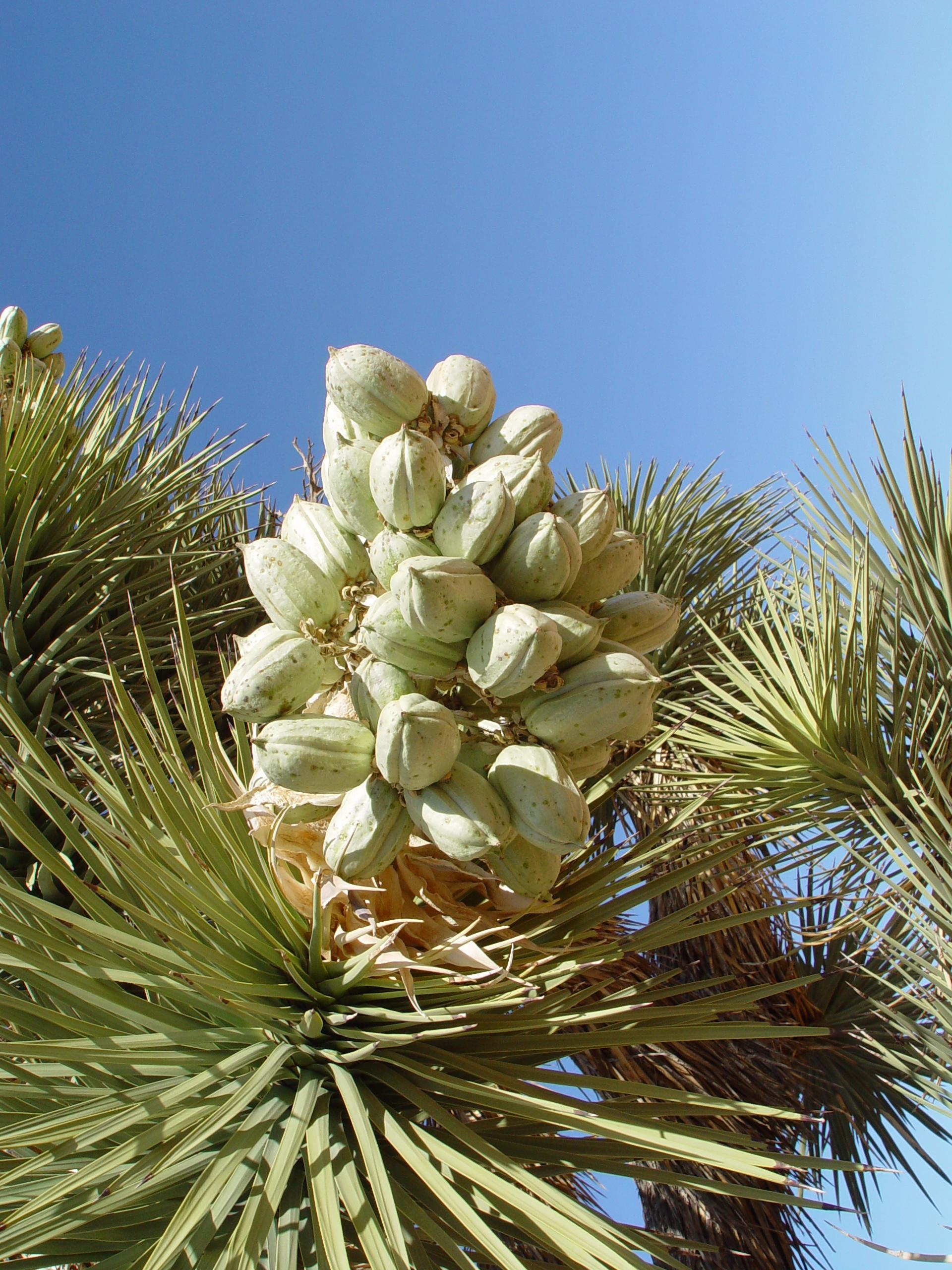 Yucca comestible yucca salisb sftrajan tags barcelona for Plante yucca
